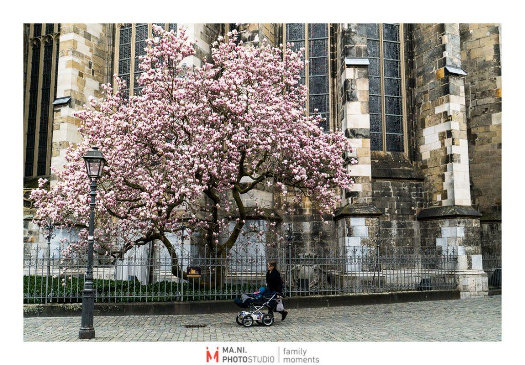 Una magnolia in fiore a fianco della cattedrale di Colonia